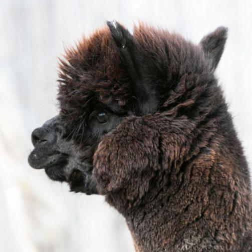 Bombay alpaga huacaya noir mâle tête