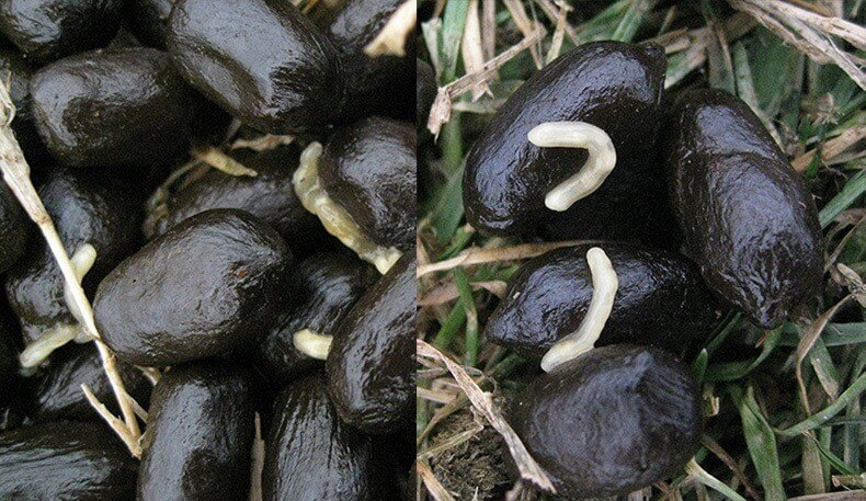 segments d'œufs du parasite moniezia-expensa