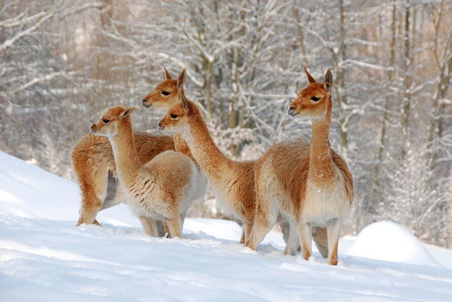 La vigogne, un camélidé ancêtre de l'alpaga