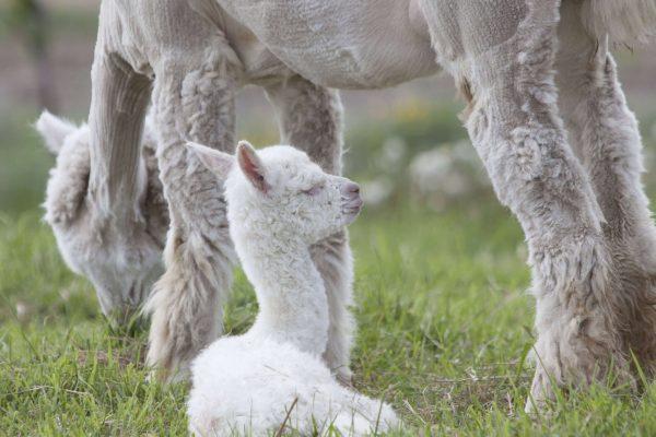naissance alpaga criation