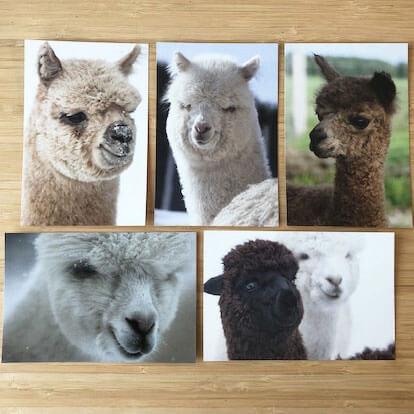 cartes postale alpaga