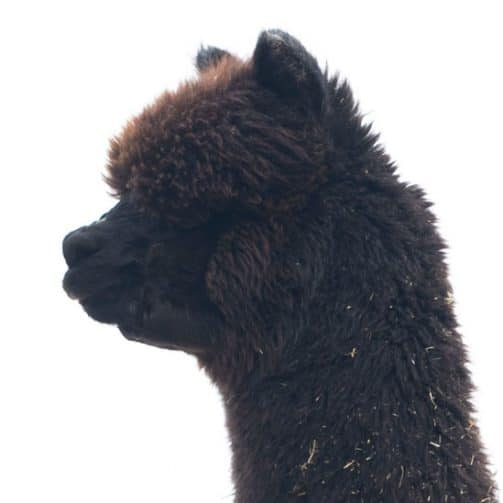 alpaga noir femelle octavia tête
