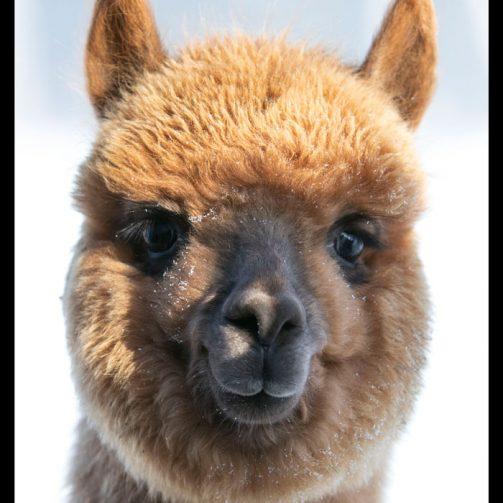Carrie alpaca huacaya femelle fauve en janvier 2021