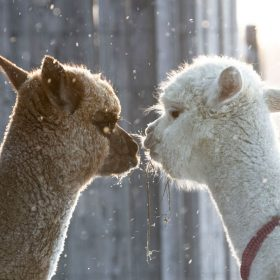consultations sur l'alpaga, sa fibre et son élevage