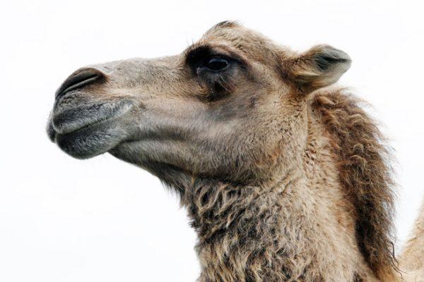 tête de chameau de bactriane